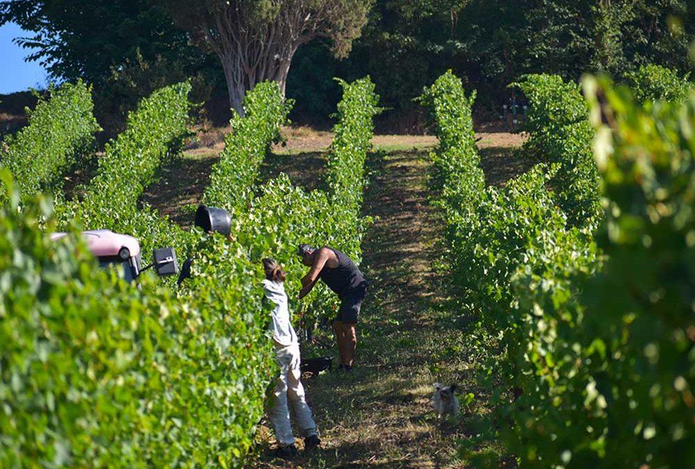 vendanges Domaine de Lastronques vignobles vignes