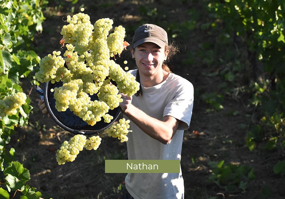 Nathan, employé du Domaine de Lastronques qui vendange dans les vignes ariégeoises.