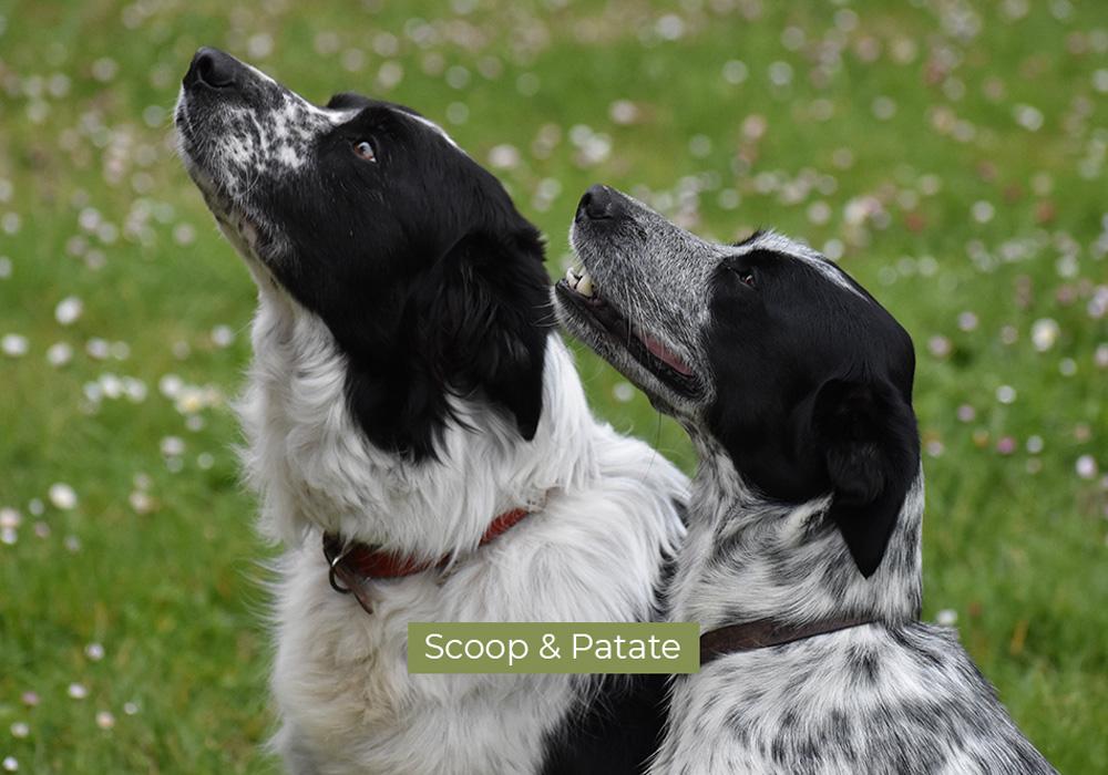 Scoop et Patate, les 2 chiens du domaine de Lastronques en Ariège