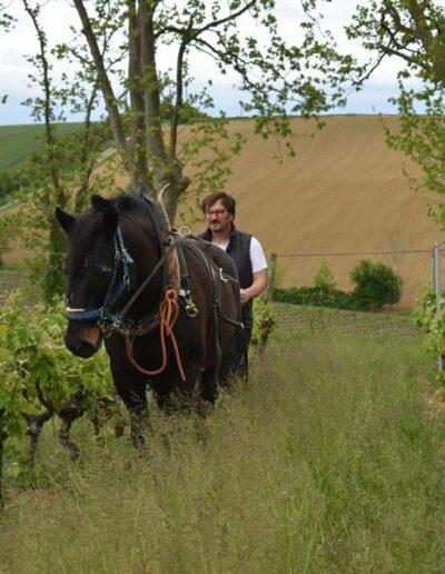 Dans les coteaux de la vallée de la Lèze, au Domaine de Lastronques, on aborde la traction animale avec un cheval de Castillon