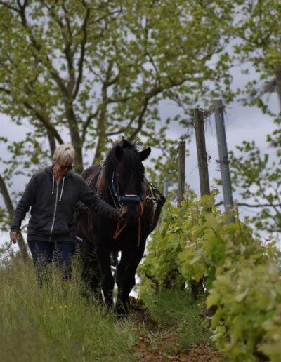 Le cheval Castillonnais attelé au soc, travaille tranquillement la parcelle de merlot du domaine de Lastronques