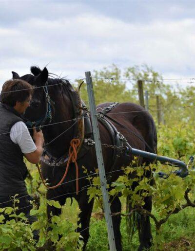 Dans la parcelle de merlot du domaine de Lastronques en Ariège le cavaillon est nettoyé en traction animale