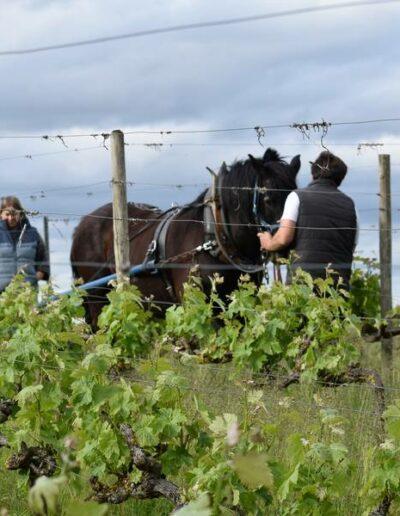 Vignerons Ariégeois, nous participons au projet traction animale dans nos vignes
